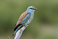 Extremadura, holiday, birds, birding, European Roller